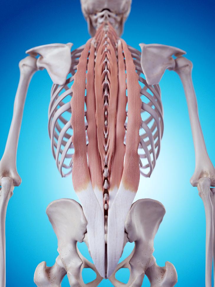 脊柱起立筋3D