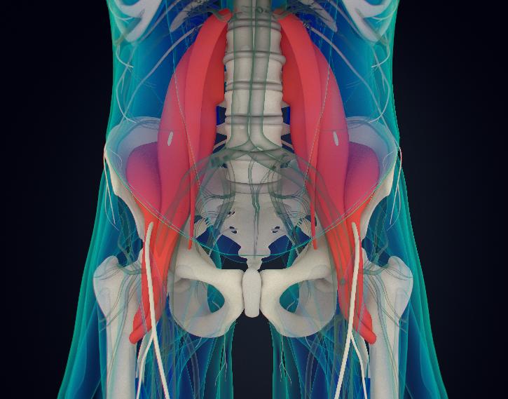 腸腰筋3D